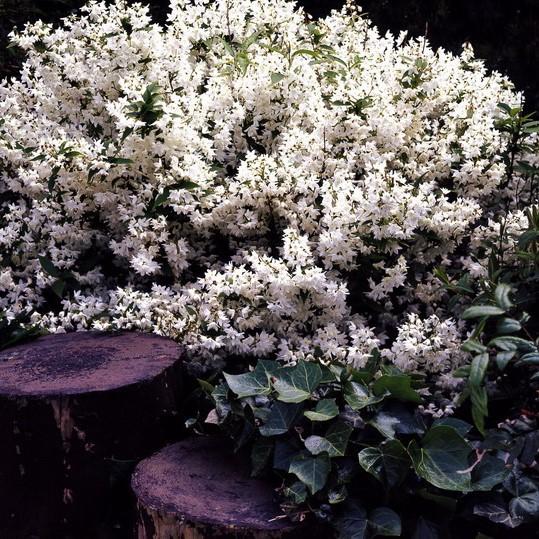 maiblumenstrauch deutzia gracilis 2 pflanzen wei bl hend 20 40 cm im 3 liter topf geh lze. Black Bedroom Furniture Sets. Home Design Ideas