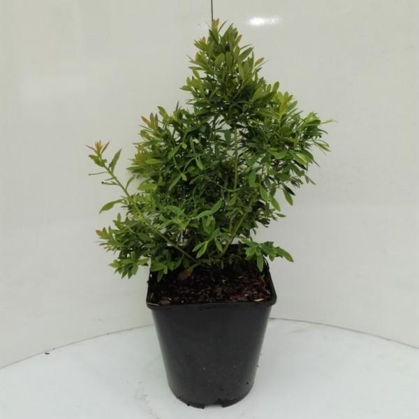 Sunshine Blue, Kultuheidelbeere, Blaubeere, immergrünes Laub, 30-40 cm groß, Pflanze im 3-5 L Topf