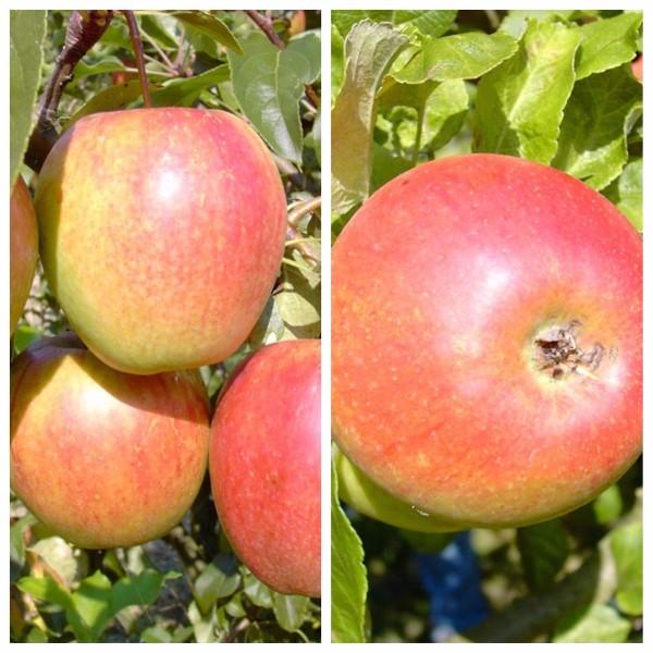 Duo Familien-Apfelbaum Rewena und Alkmene 2 Sorten-Apfelbaum 120-150 cm 10 Liter Topf M26