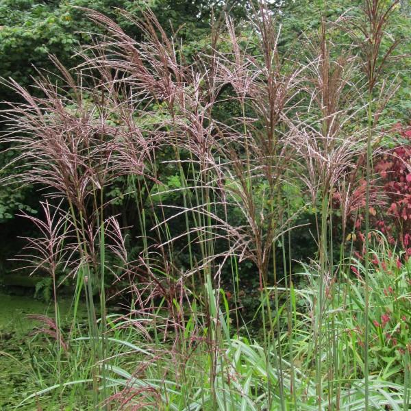 Chinaschilf Miscanthus sinensis Kleine Fontäne grazile Grasstaude 20-30 cm Staude im 1 Liter Topf