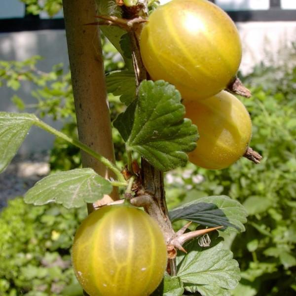 Hinnonmäki - gelbe Stachelbeere