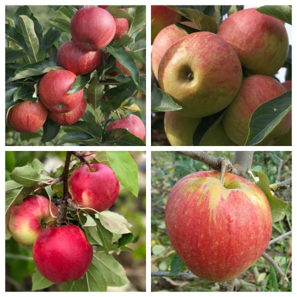 Familienbaum Apfel Halbstamm - Gala - Elstar - Cox Orange - Jonagold