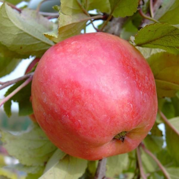Apfelbaum Piros Ⓢ Sommerapfel Buschbaum robuste Sorte 150-170 cm im 10 Liter Topf Unterlage M7