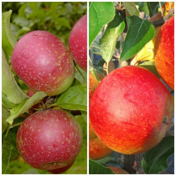 Apfel Pärchen: Rote Sternrenette und Cox Orange, ca. 120 cm, im 5 Liter Topf, MM111