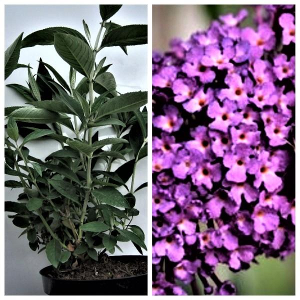 Sommerflieder, Nanho Purple, violettrot blühend, duftend, 40 -60 cm, Buddleja davidii im 2-3 L Topf