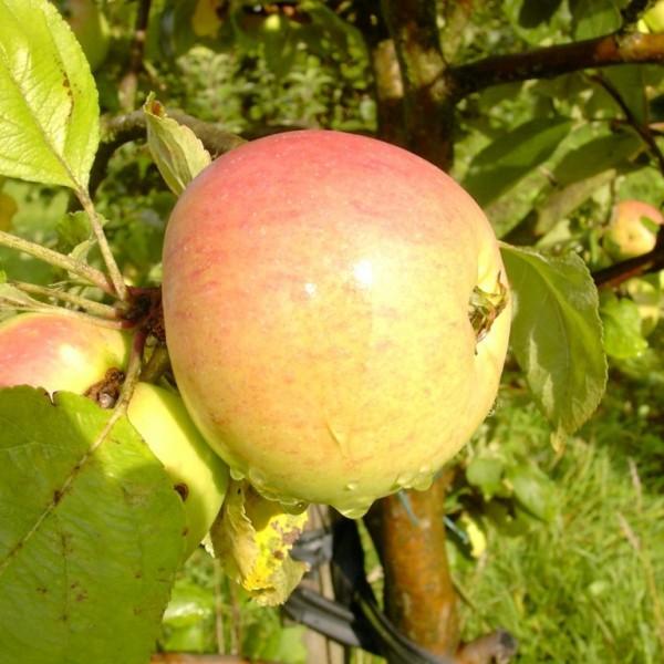 Notariatsapfel Notarisapfel Hochstamm Apfelbaum 180 cm Stamm wurzelnackt Unterlage Sämling