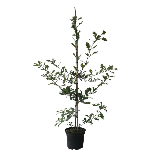 Stieleiche Deutsche Eiche Quercus robur Hofbaum Futterspender Heister ca. 80-120 cm 5 Liter Topf