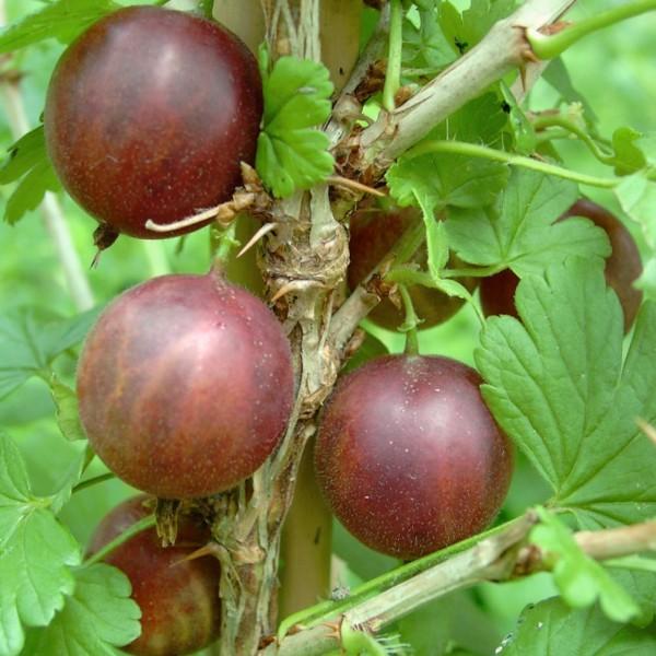 Spinefree - hellrote Stachelbeere