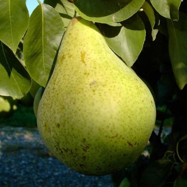Birnenbaum Condo, geschmackvolle Herbstbirne Halbstamm 170-200 cm 10 Liter Topf, Unterlage Sämling