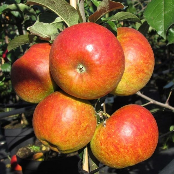 Apfelbaum Pilot Ⓢ Winterapfel schwachwachsend Buschbaum 120-150 cm im 7,5 Liter Topf Unterlage M9