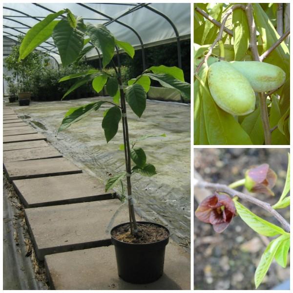 Paw Paw Indianerbanane Asimina triloba veredelte Sorte Mango ca. 40-60 cm im 1 Liter Topf