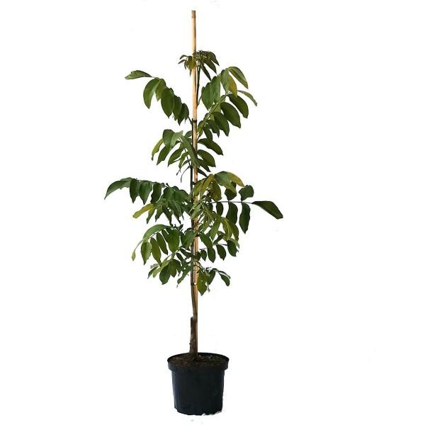 Wunder von Monrepos, großfruchtige Walnuss Sorte veredelter Walnuss Baum 150-175 cm 10 Liter Topf