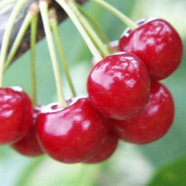 Sweetheart ® selbstfruchtbare Kirsche Kirschbaum Halbstamm 170-200cm 10 Liter Topf Unterlage Alkavo