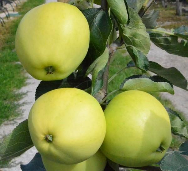 Apfelbaum Weißer Klarapfel, beliebter früher Sommerapfel Buschbaum 150-170 cm 10 Liter Topf M7