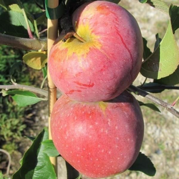 Apfelbaum Florina schorfresistenter Winterapfel Apfel Halbstamm 170-200 cm inkl. 9,5 Liter Topf M25