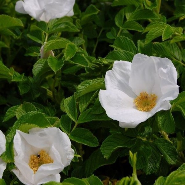 Kartoffelrose Apfelrose - Rosa rugosa Alba