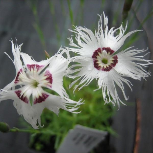 Sandnelke Nelke Dianthus arenarius weiße duftende Blüte Staude im 0,5 Liter Topf