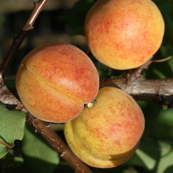 Bergeron Aprikose - Riesenaprikose