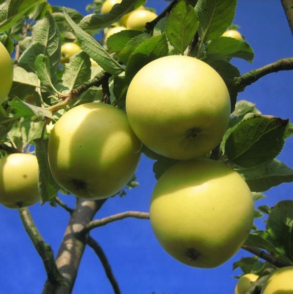 Gelber Edelapfel Herbstapfel aus England Hochstamm 180 cm Stamm wurzelnackt Unterlage Sämling