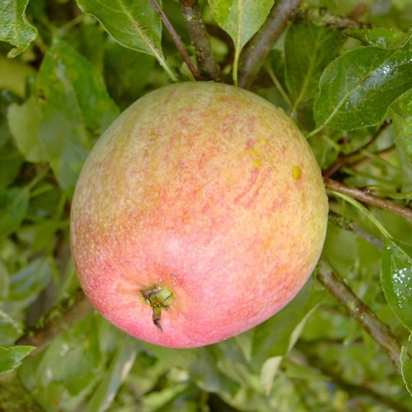 Allington Pepping historische Apfelsorte