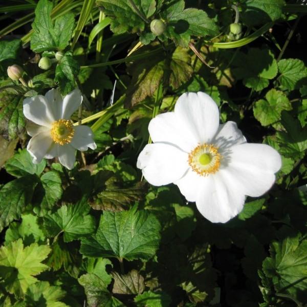 Anemone japonica Hybride Honorine Jobert, weiße Blüte, Staude im 0,5 Liter Topf
