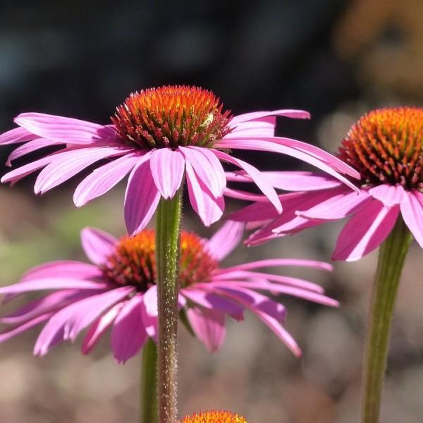 Purpur- Sonnenhut, Echinacea purpurea Magnus, purpurrosa Blüte, Staude im 0,5 Liter Topf