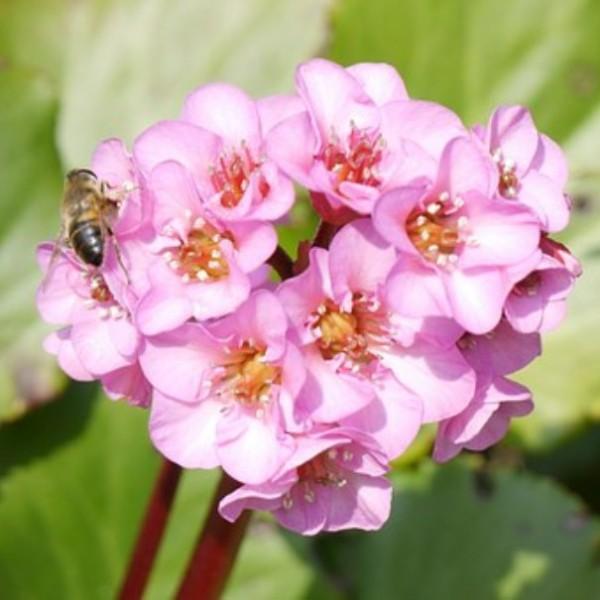 Bergenie Bergenia Hybride Baby Doll hell rosa im April-Mai Staude im 0,5 Liter Topf