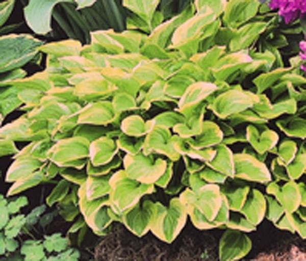 Hosta, Funkie 3-er Set, 3 Stauden mit grüngelben Blättern, 10-20 cm, 7 cm Topf