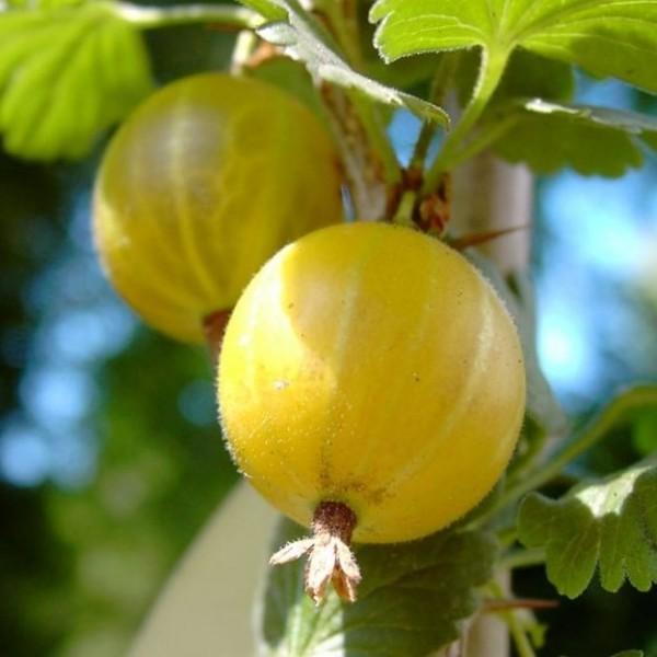 Macherauchs Resistenta Gelbe Stachelbeere Hochstamm ca. 80-90 cm Stamm 120-140 cm groß im 4 L Topf