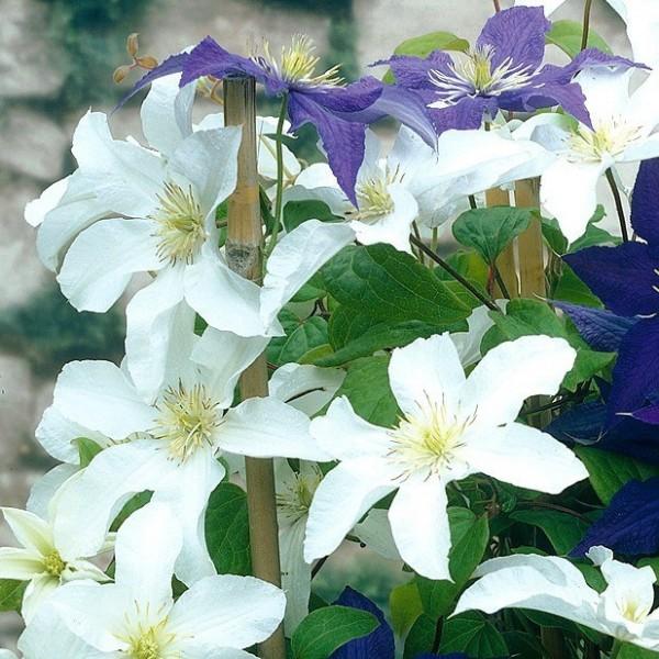 Clematis Mme Le Coultre ®, Clematis Hybride, weiße Blüten im 11 cm Topf, gestäbt