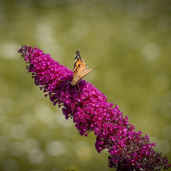 Sommerflieder Nanho Purple rot-violett blühend duftend 40 - 60 cm Buddleja davidii im 2-3 Liter Topf