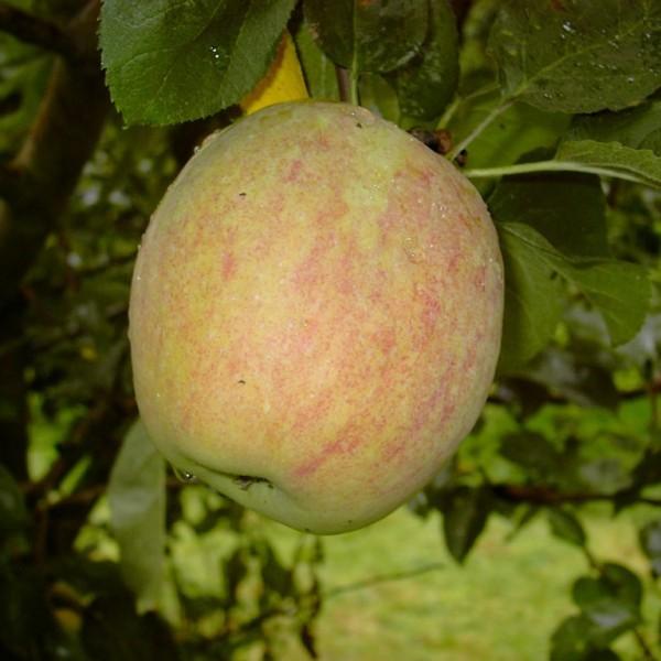 Prinzenapfel historische Apfelsorte würzig süßsäuerlich Hochstamm 180 cm Stamm wurzelnackt Sämling