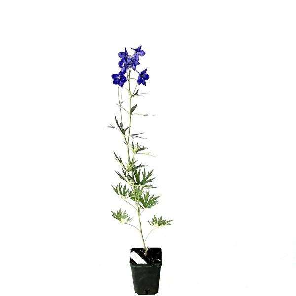 Rittersporn, Delphinium-Belladonna-Hybride, Atlantis, dunkel blauviolett, Staude im 1 Liter Topf