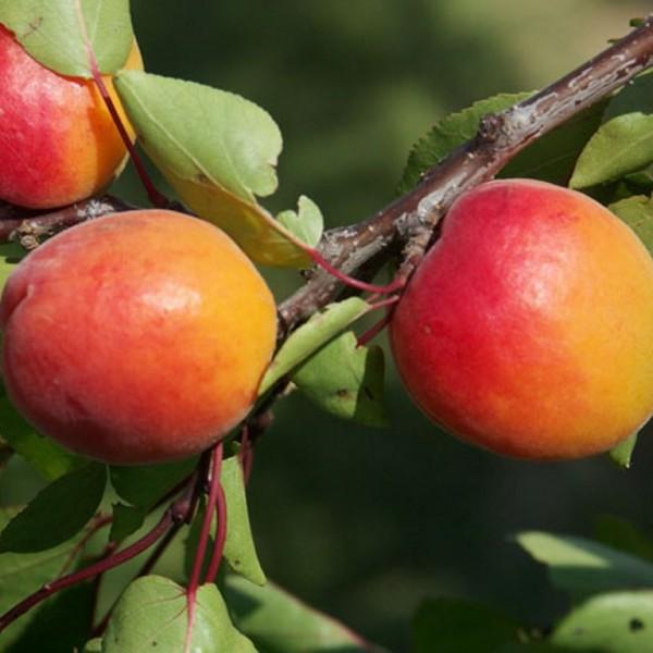 Nektarine Flavortop saftig süß Buschbaum ca. 120-150 cm 7,5-10 Liter Topf Unterlage Prunus pumila