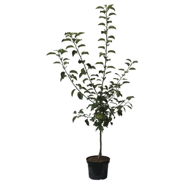 Apfelbaum Biesterfelder Renette zweijährig historisch Apfel Buschbaum 150-170 cm 10 Liter Topf M7