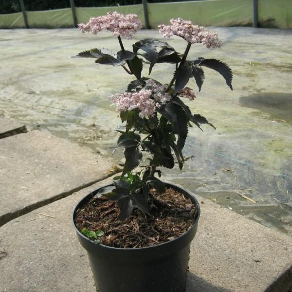 Black Tower ® rotblättriger Säulenholunder weiß-rosa Blüten Holunder in Säulenform ca. 30 - 60 cm