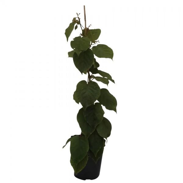 Kiwi Jenny Kiwipflanze Actinidia arguta dekorative + leckere Kiwi selbstfruchtbar 40-60 cm, gestäbt