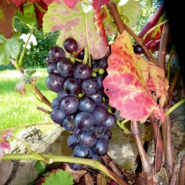 Festivee blaue Weintraube
