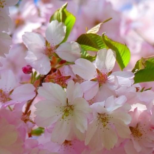 Rosablühende Winterkirsche Prunus subhirtella Autumnnalis zartrosa Blüte 60-100 cm im 5 Liter Topf