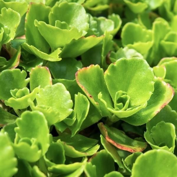 Immergrünes Mongolen-Fettblatt Immergrünchen Sedum hybridum Staude im 0,5 L Topf