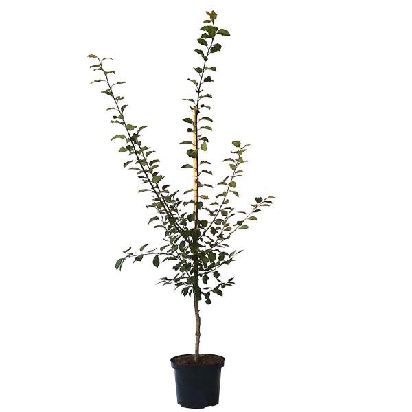Fellenberg Italienische Zwetsche Buschbaum aromatisch steinlösend 120-150 cm 10 Liter Topf INRA 2
