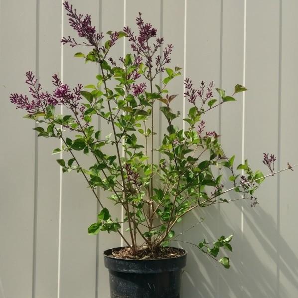 Flieder Syringa Bloomerang ® Dark Purple dunkel-lila blühend ca. 40-60 cm Pflanze im 3 L Topf
