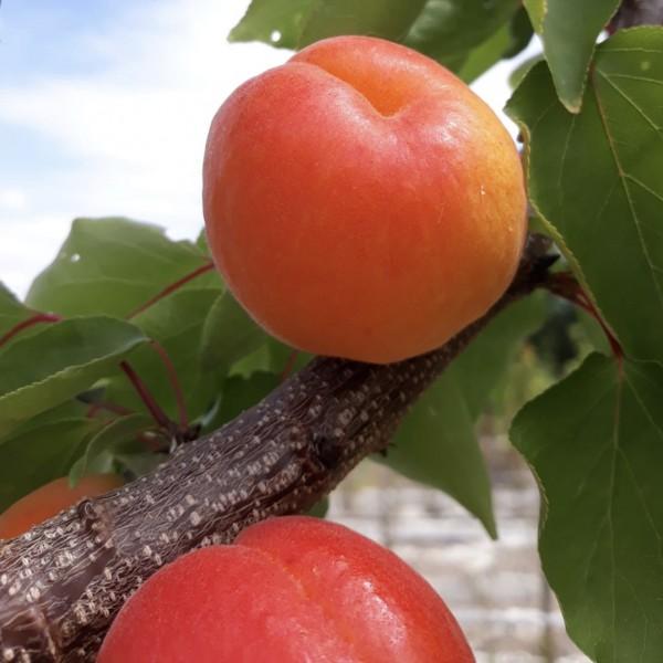 Zwergaprikose Orangered