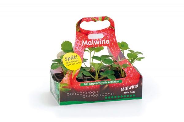 Neu Erdbeerpflanze Sorte Malwina Extrem Späte Erdbeere Robuste