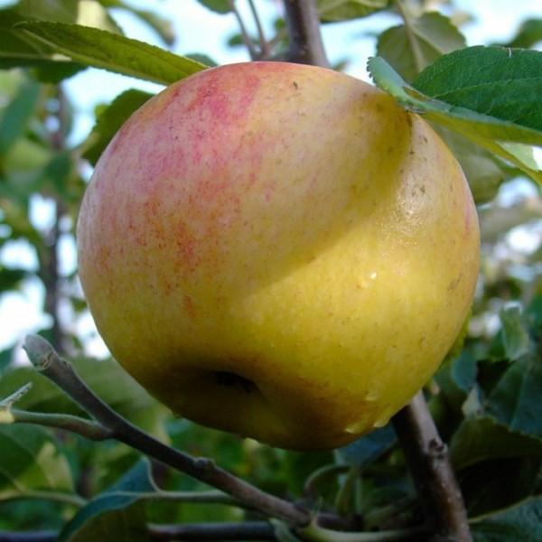 Apfelbaum Dülmener Rosenapfel Herbstapfel alte Sorte Buschbaum 120-150 cm im 7,5 L Topf Unterlage M9