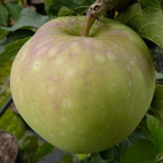 Apfelbaum Kirgisischer Herbstapfel beliebte Sorte mit sehr großer Frucht 100-120 cm 5 Liter Topf M7