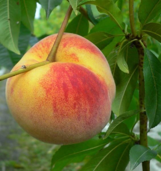Anneliese Rudolph Pfirsichbaum weißleischig sehr aromatisch Halbstamm ca. 170-200 cm 9,5 L Topf