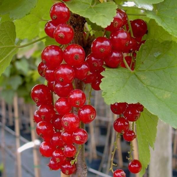Jonkheer van Tets, rote Johannisbeere Hochstamm saftige Früchte ca. 80-90 cm Stamm im 3-4 Liter Topf