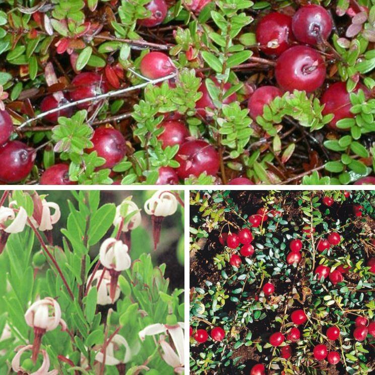 cranberry beerenobst gr ner garten shop. Black Bedroom Furniture Sets. Home Design Ideas