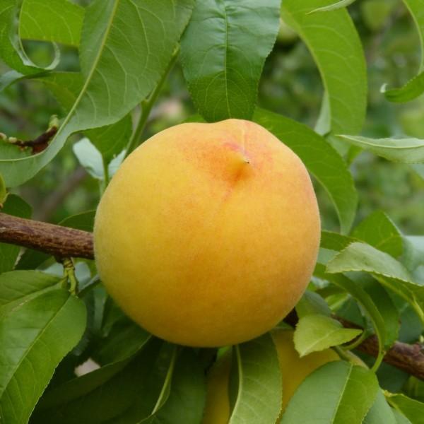 Honigpfirsich Honeysun ® goldgelber Pfirsich hoher Ertrag Buschbaum 100-120 cm 7,5 Liter Topf